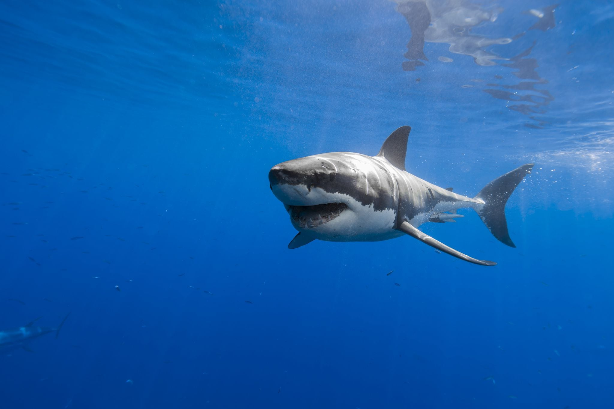Great White Shark Wallpapers HQFX