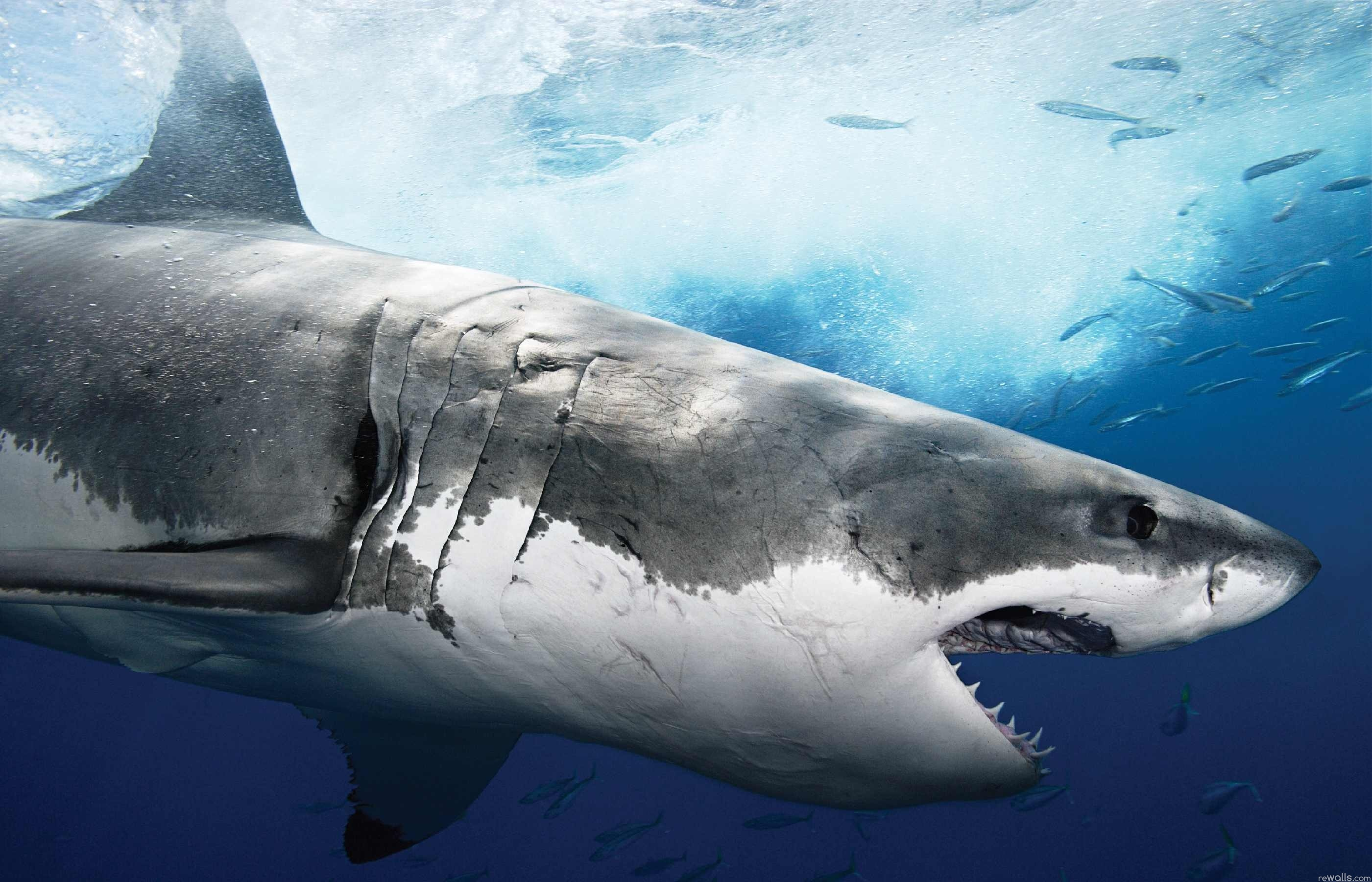 HD Great White Shark Wallpaper