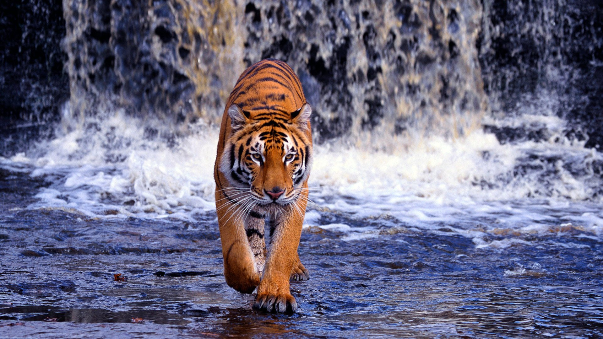HD Tiger Wallpaper Download