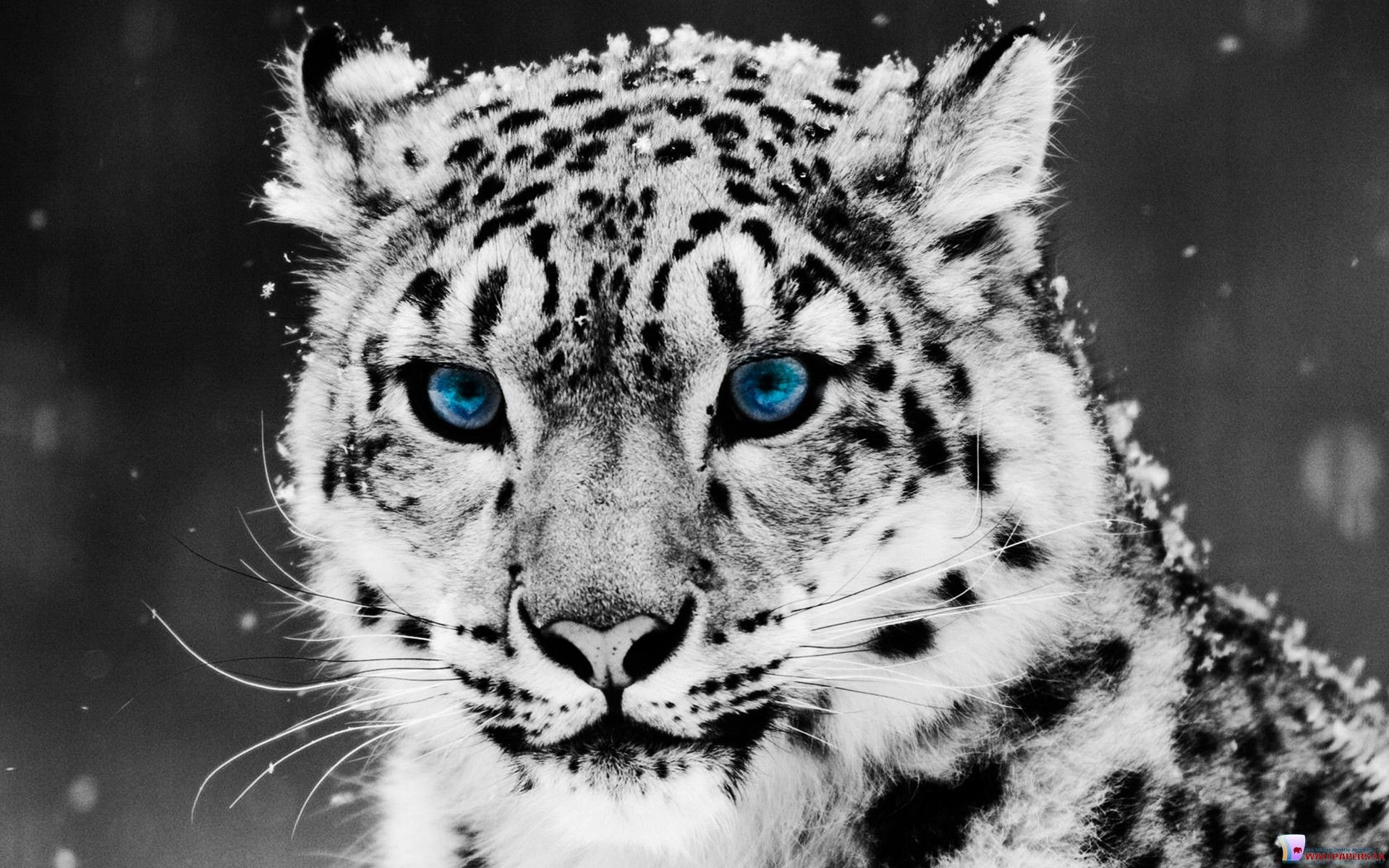 HD Wallpapers White Tiger