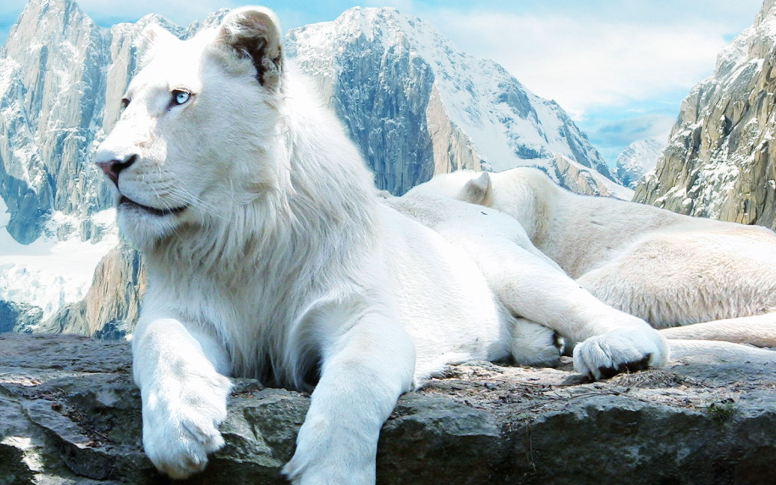 HD White Lion Wallpaper