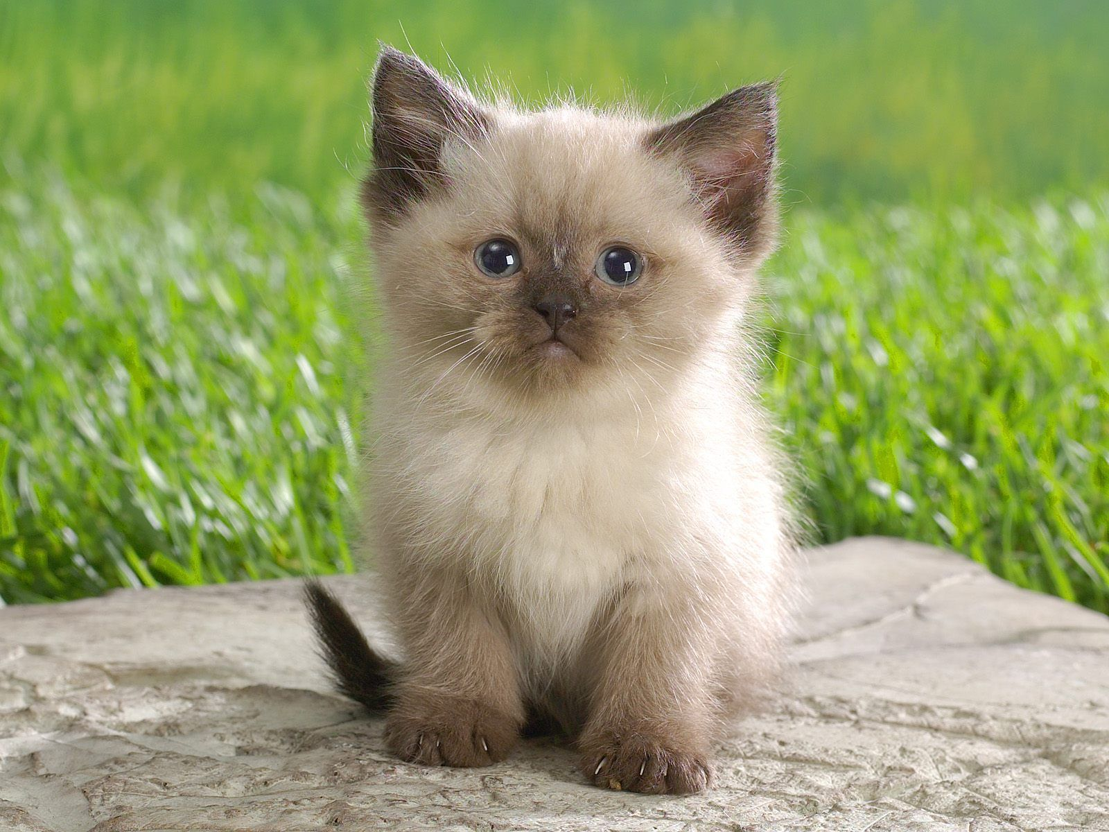Himalayan Cat Wallpaper