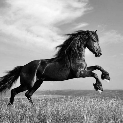Horse Wallpaper Black And White