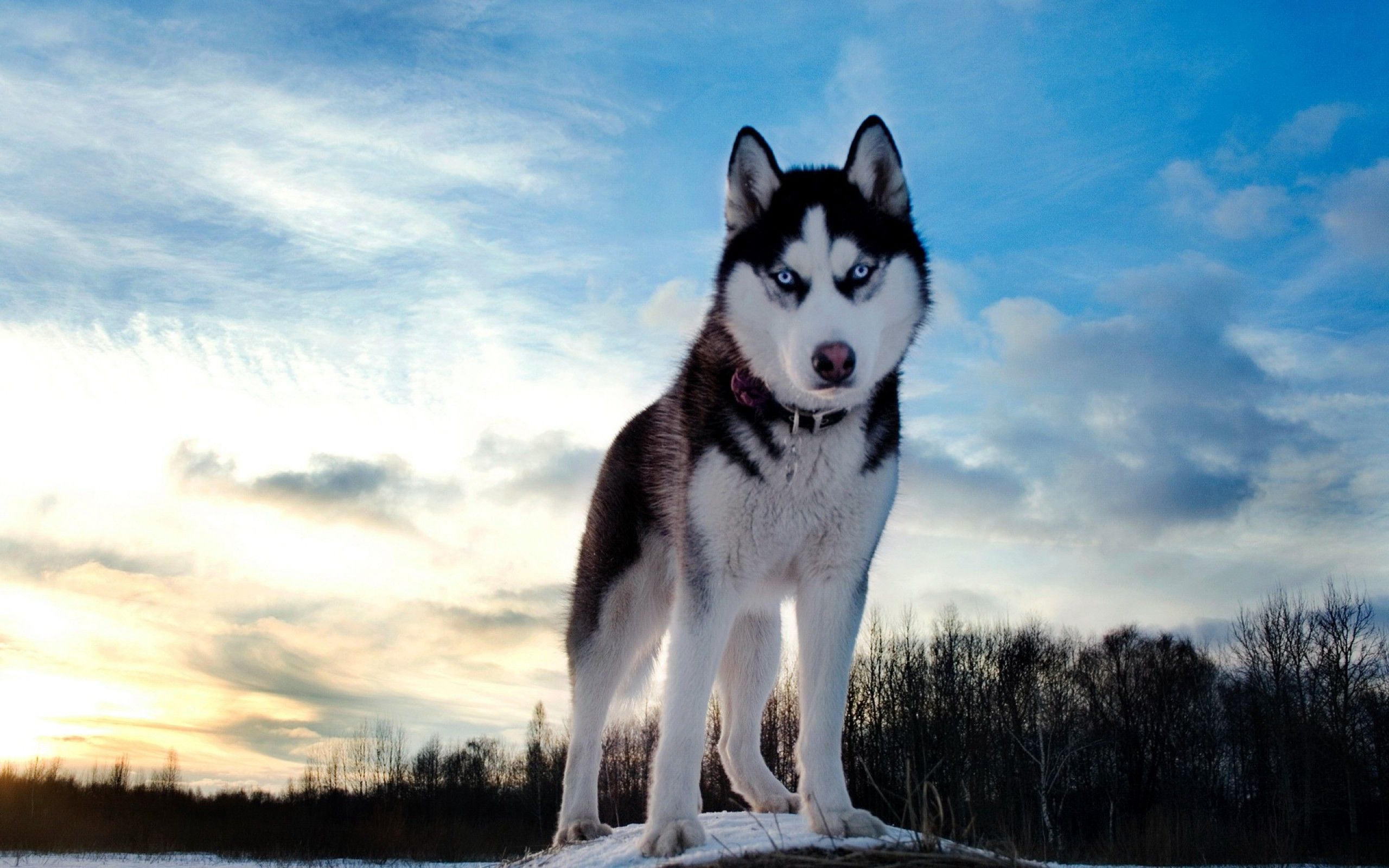 Husky Dog HD Wallpapers