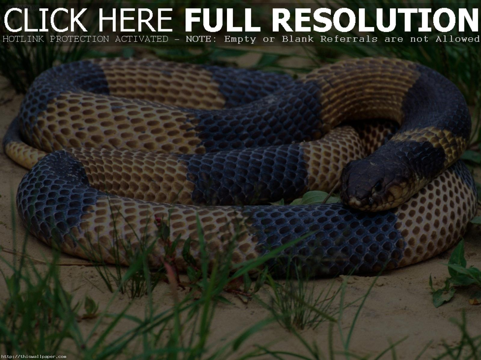 Indian King Cobra Snake Wallpaper