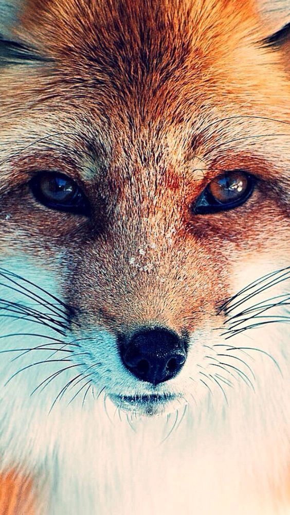 Iphone Wallpaper Fox