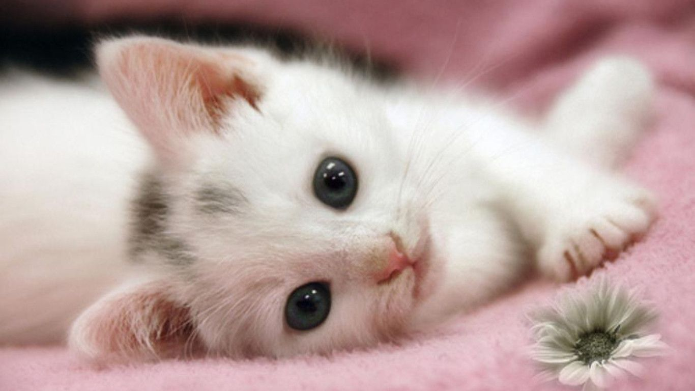 Kitten Wallpapers Free