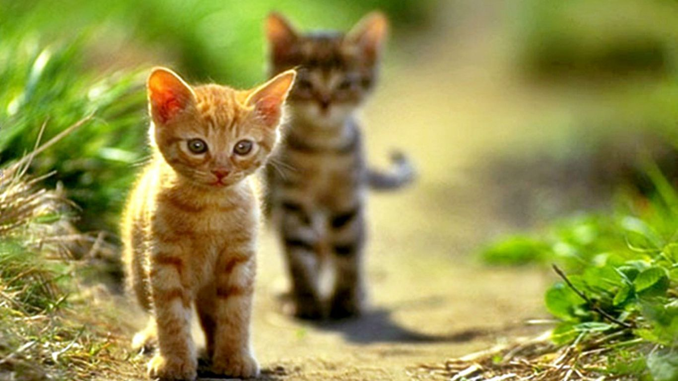 Kitty Cat Wallpapers