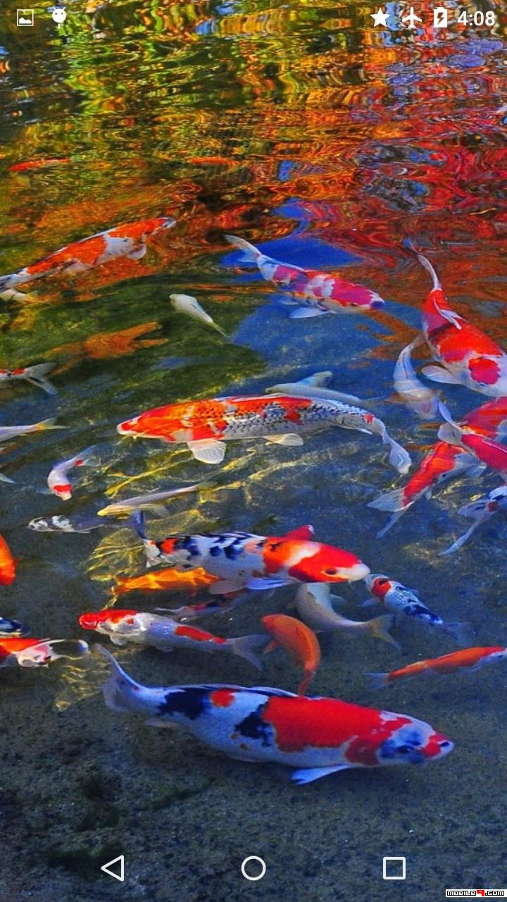 Koi Carp Live Wallpaper