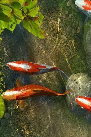 Koi Fish Live Wallpaper Apk