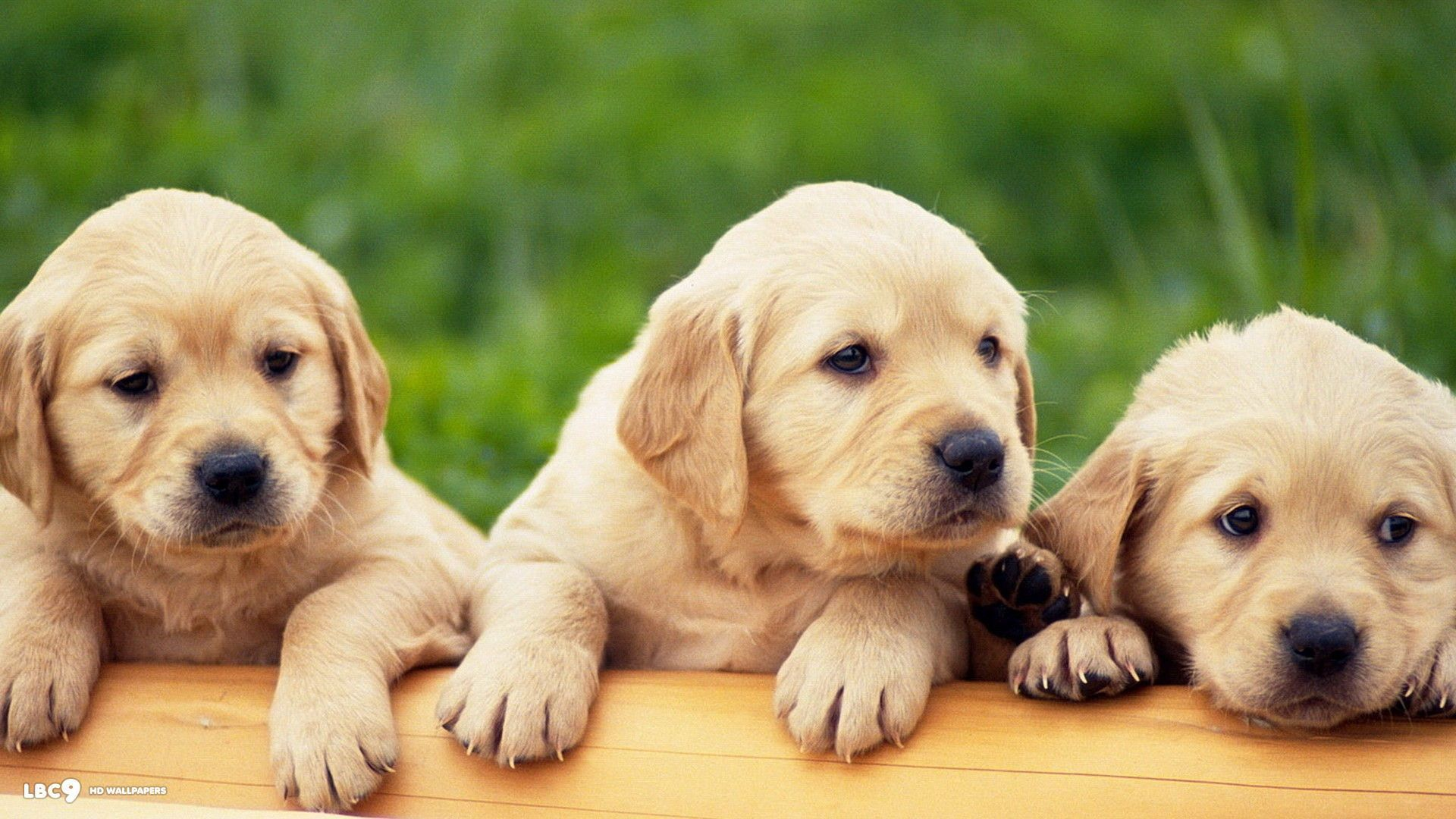 Labrador Puppies Wallpapers