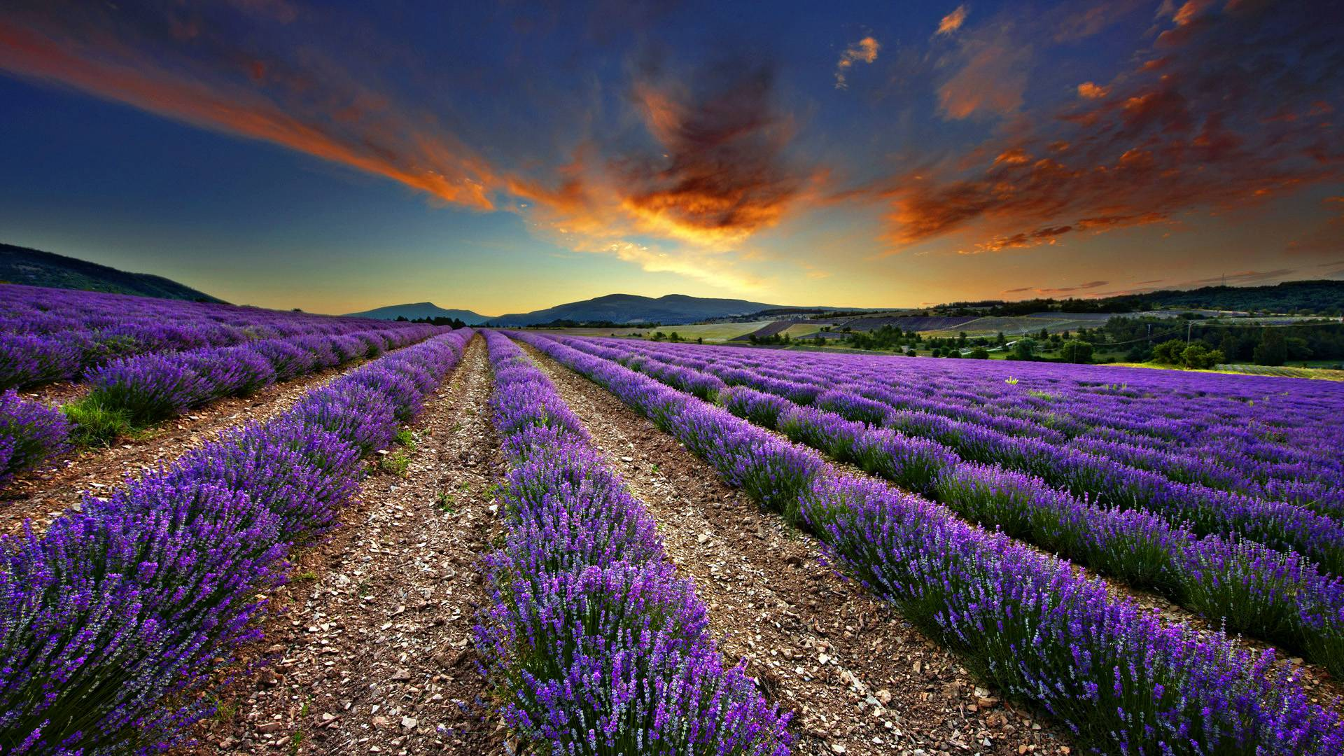 Lavender Fields Wallpaper