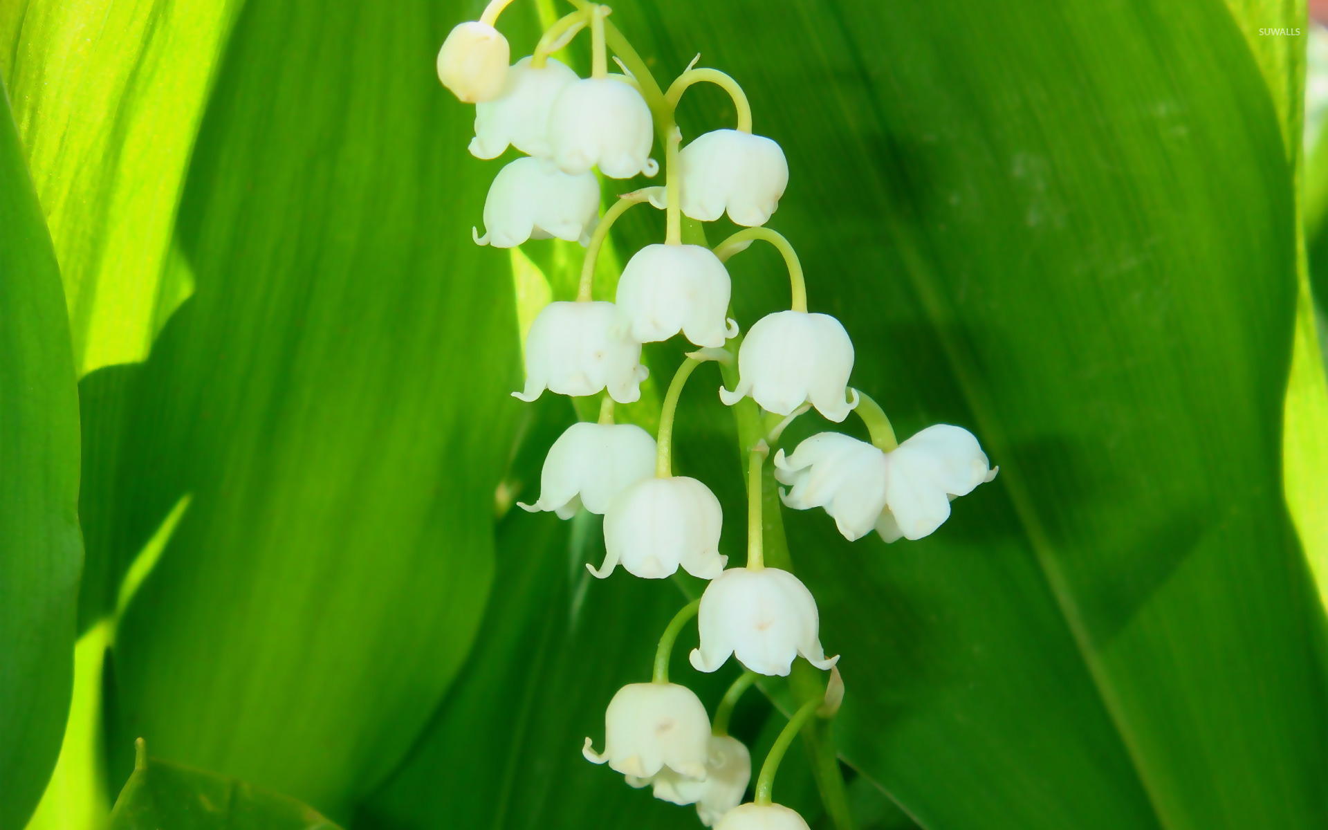 Download Lily Of The Valley Wallpaper Gallery