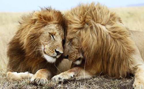 Lion Love Wallpaper