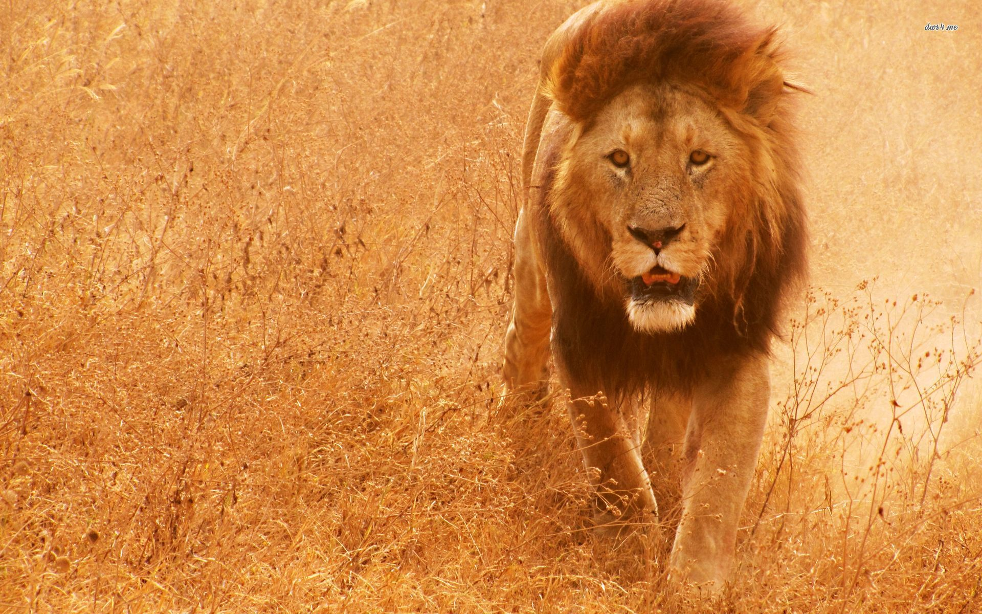 Lions HD Wallpapers Free Download