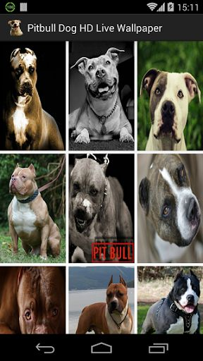 Download Live Pitbull Wallpaper Gallery