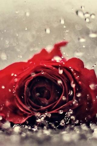 Live Wallpaper Red Rose