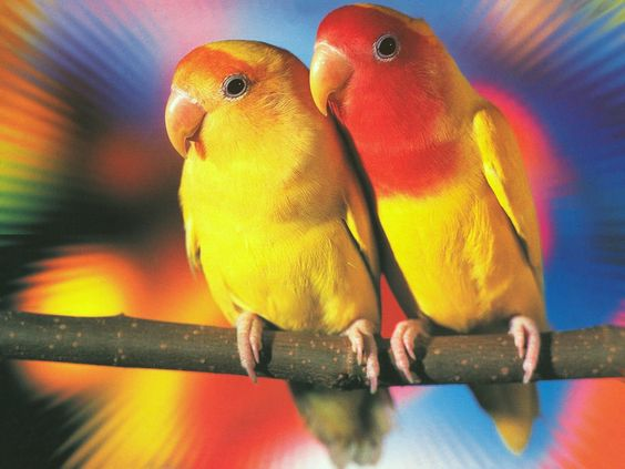 Love Birds Kissing Wallpapers