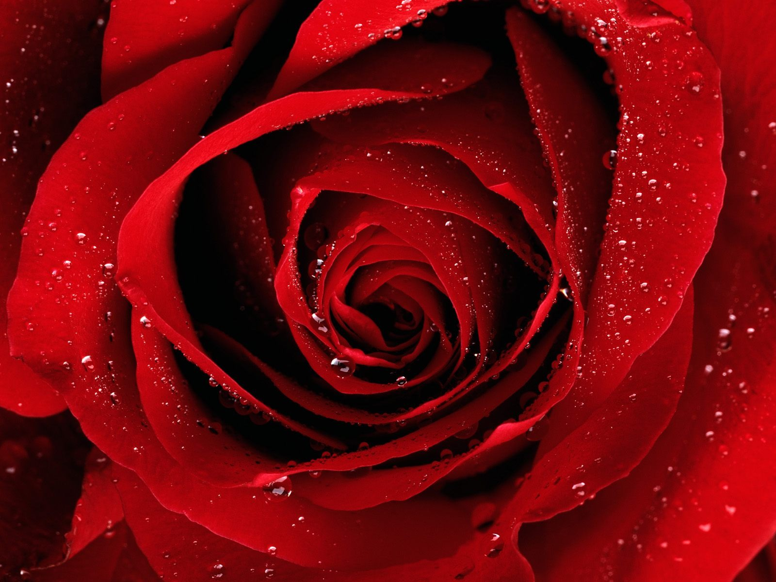 Lovely Rose Wallpaper