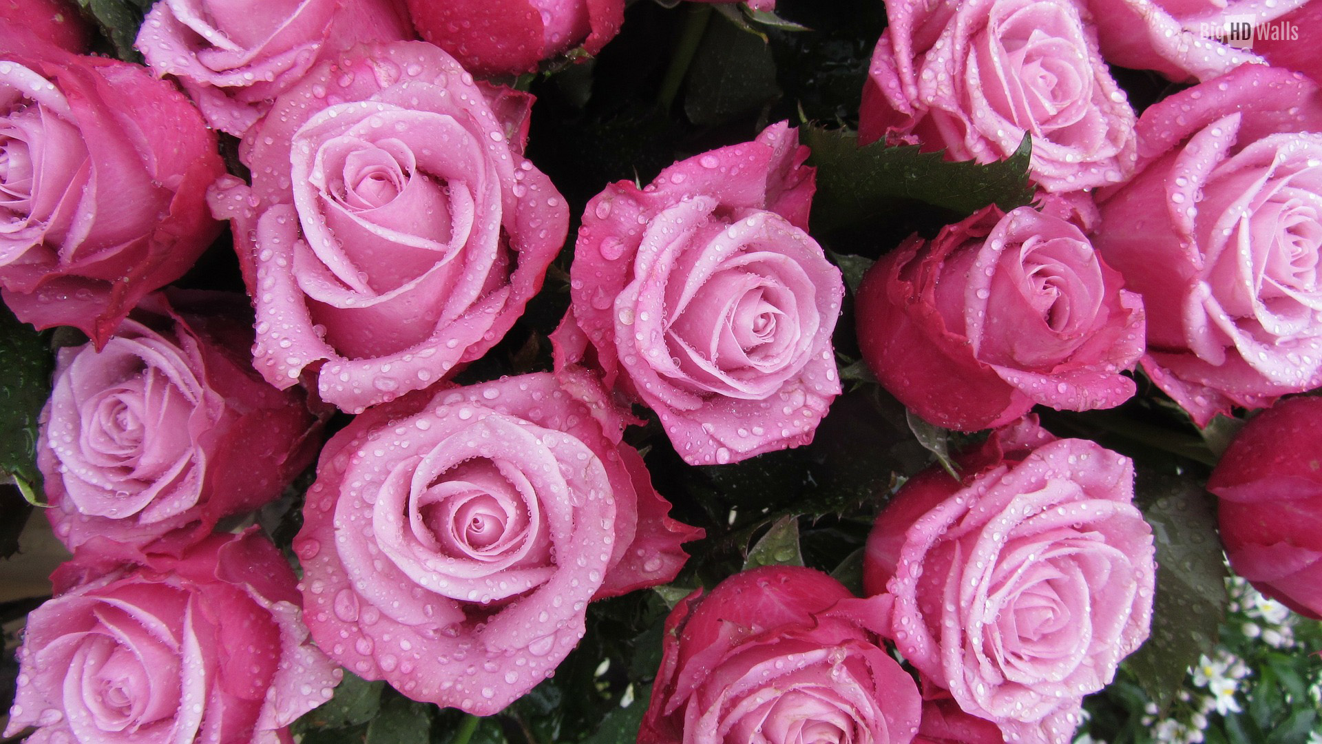 download lovely roses wallpaper download gallery