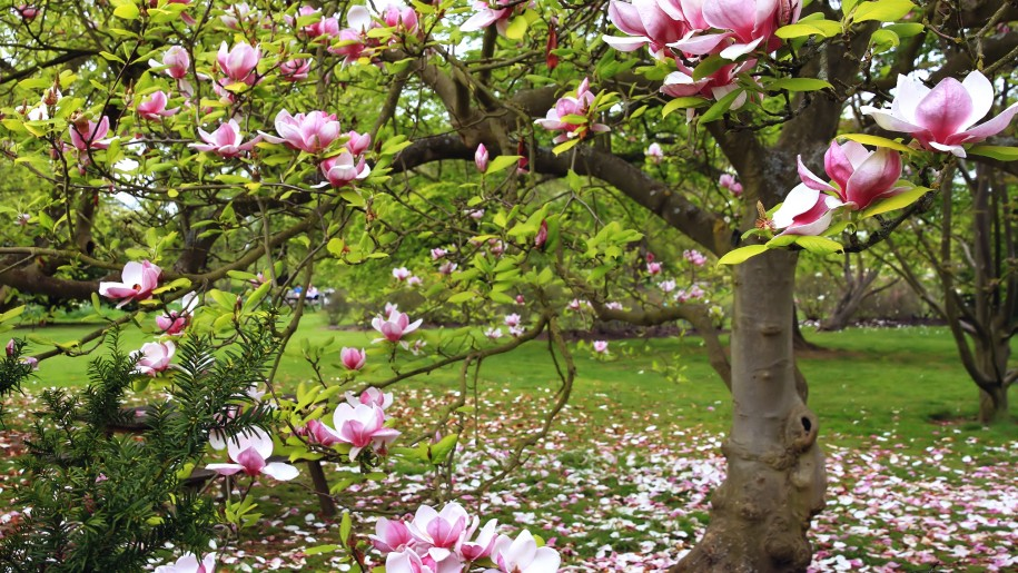 download magnolia tree wallpaper gallery
