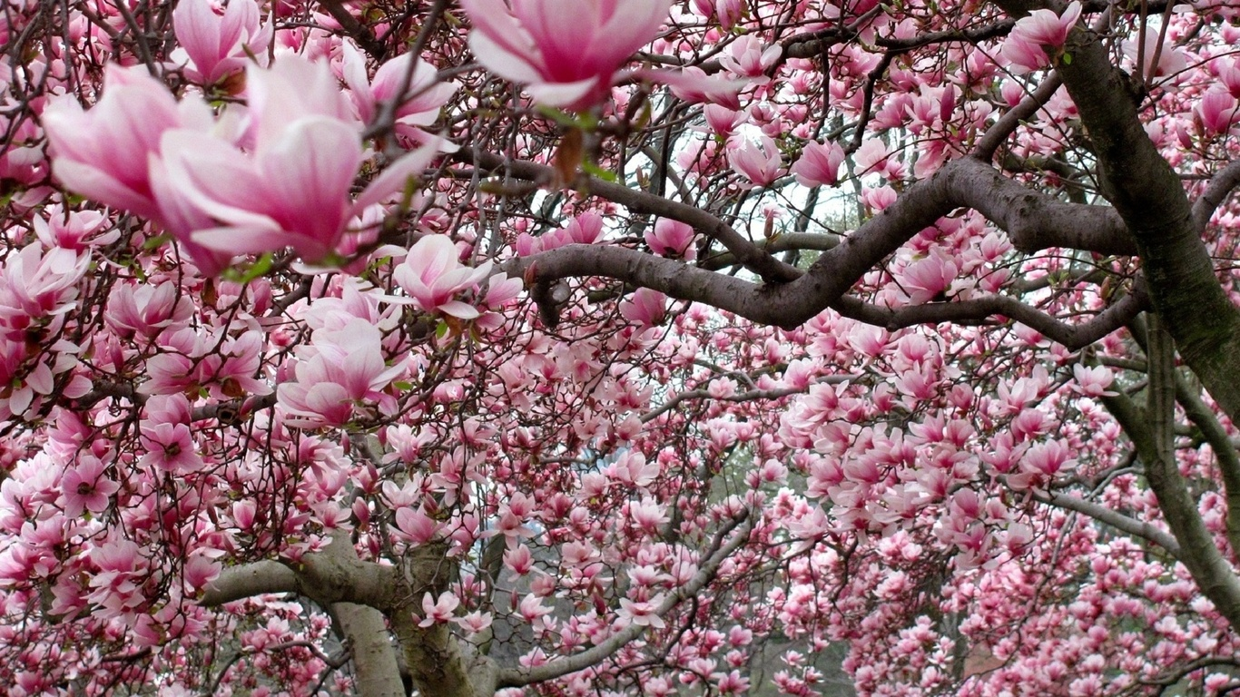 Magnolia Tree Wallpaper
