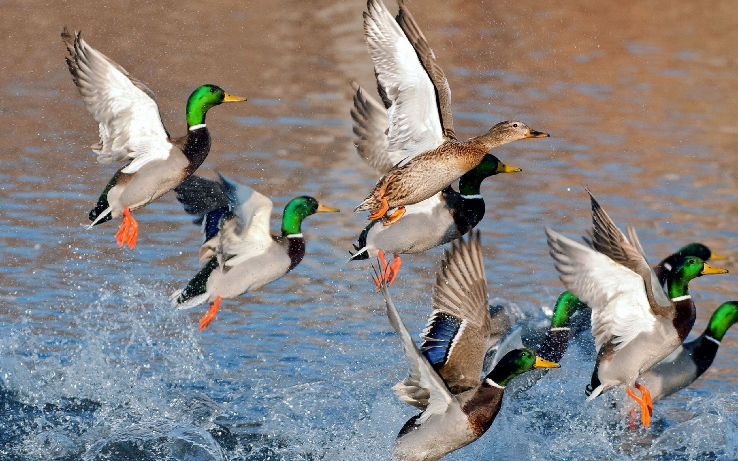 Mallard Duck Wallpaper