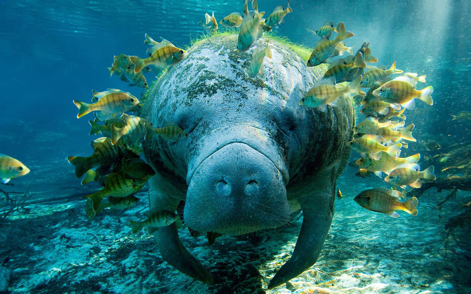 Manatee Wallpaper