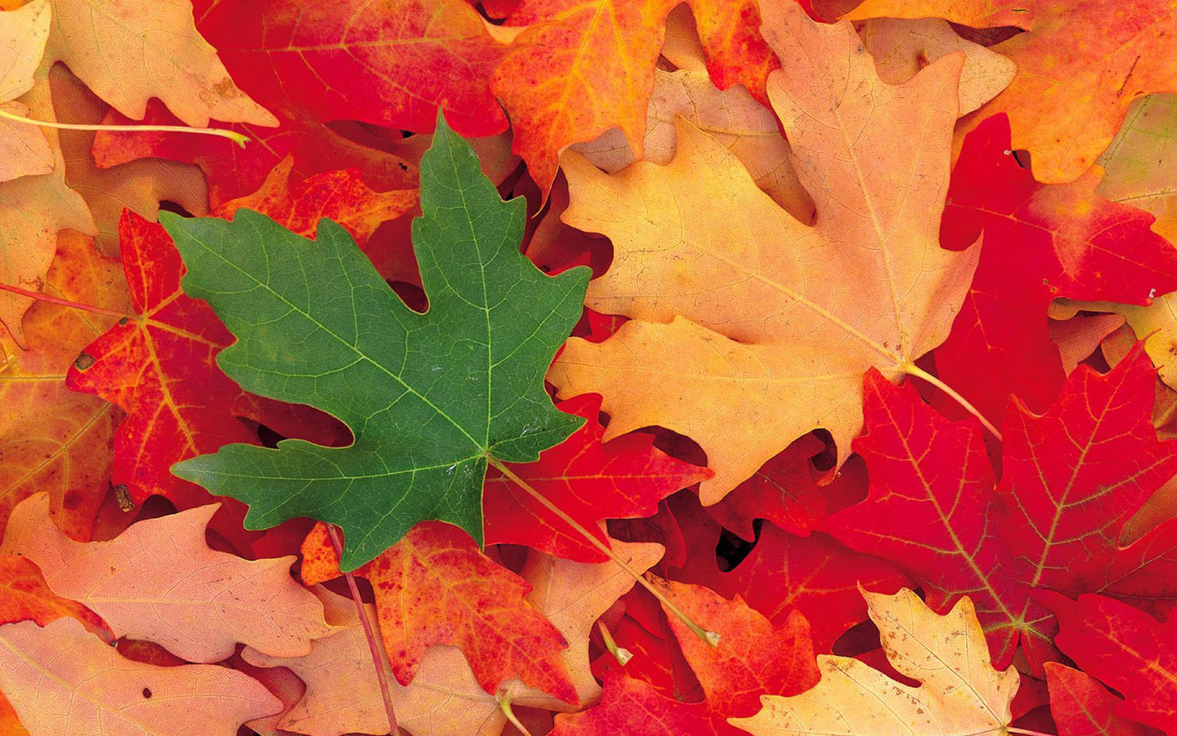 Download Maple Leaf Wallpaper Gallery