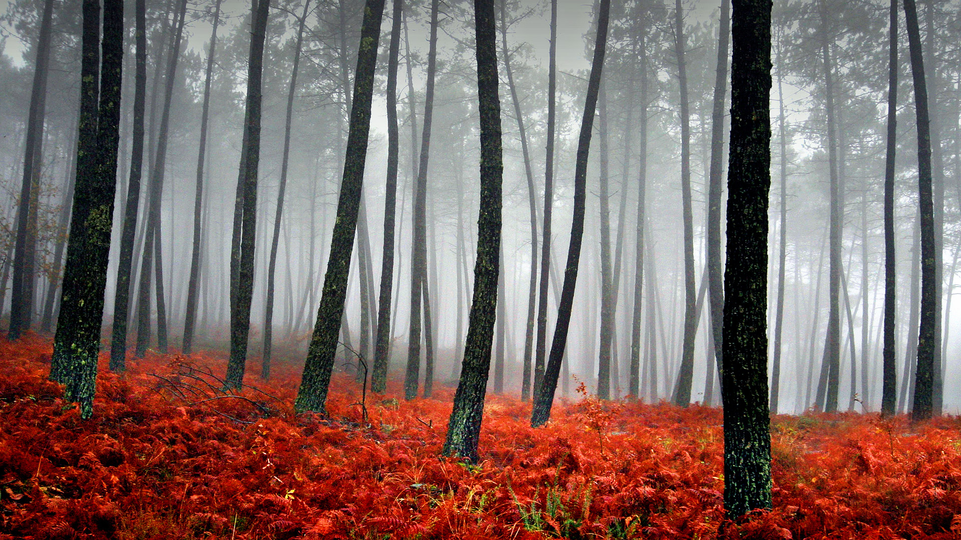 Tree Wall Mural Download Misty Forest Wallpaper Gallery