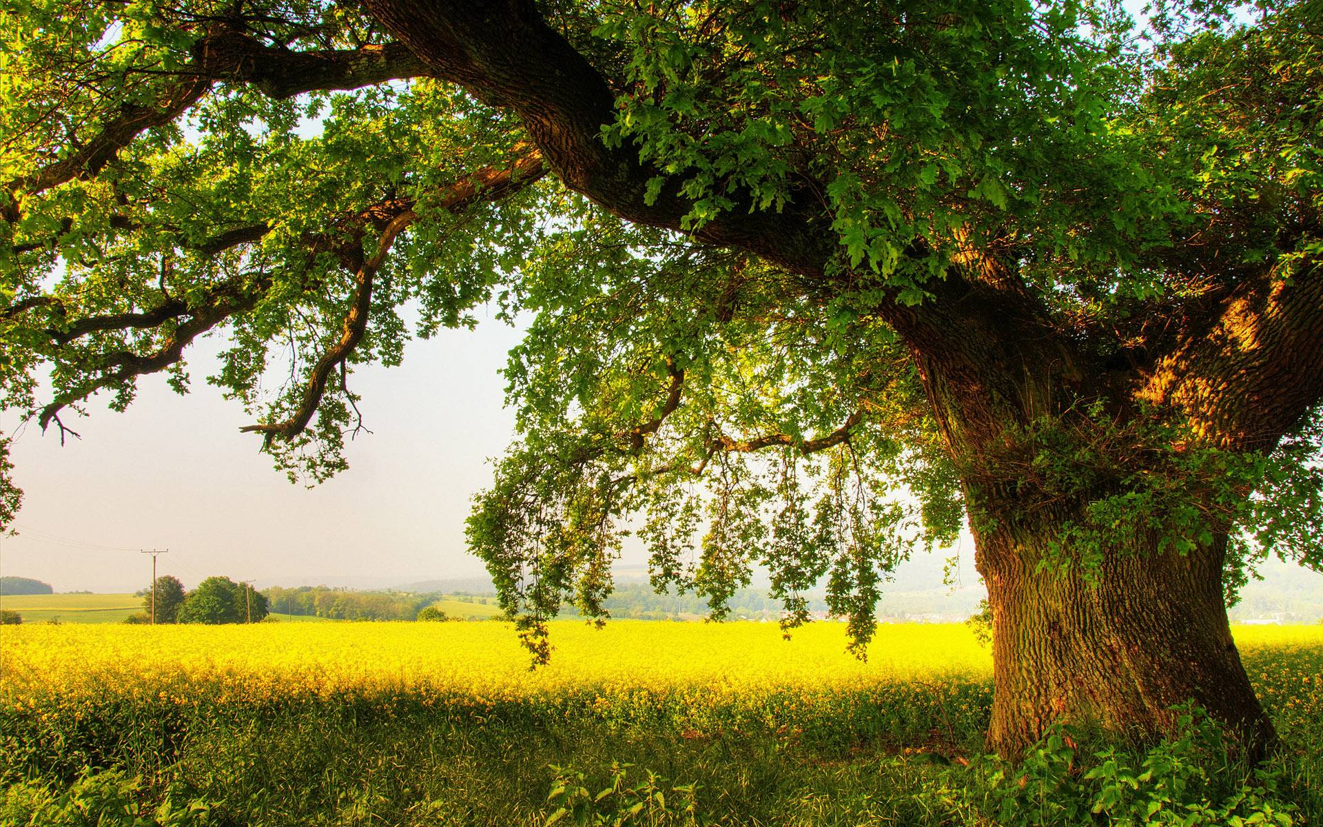Oak Tree Wallpaper