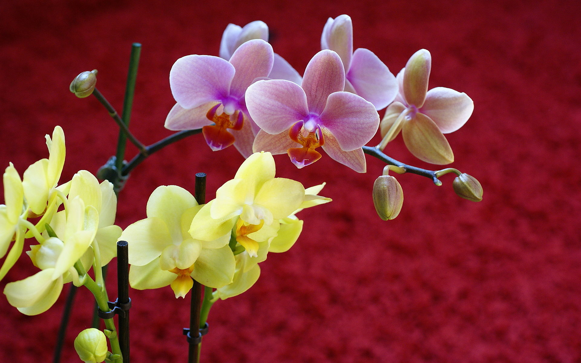 Orchids Wallpapers