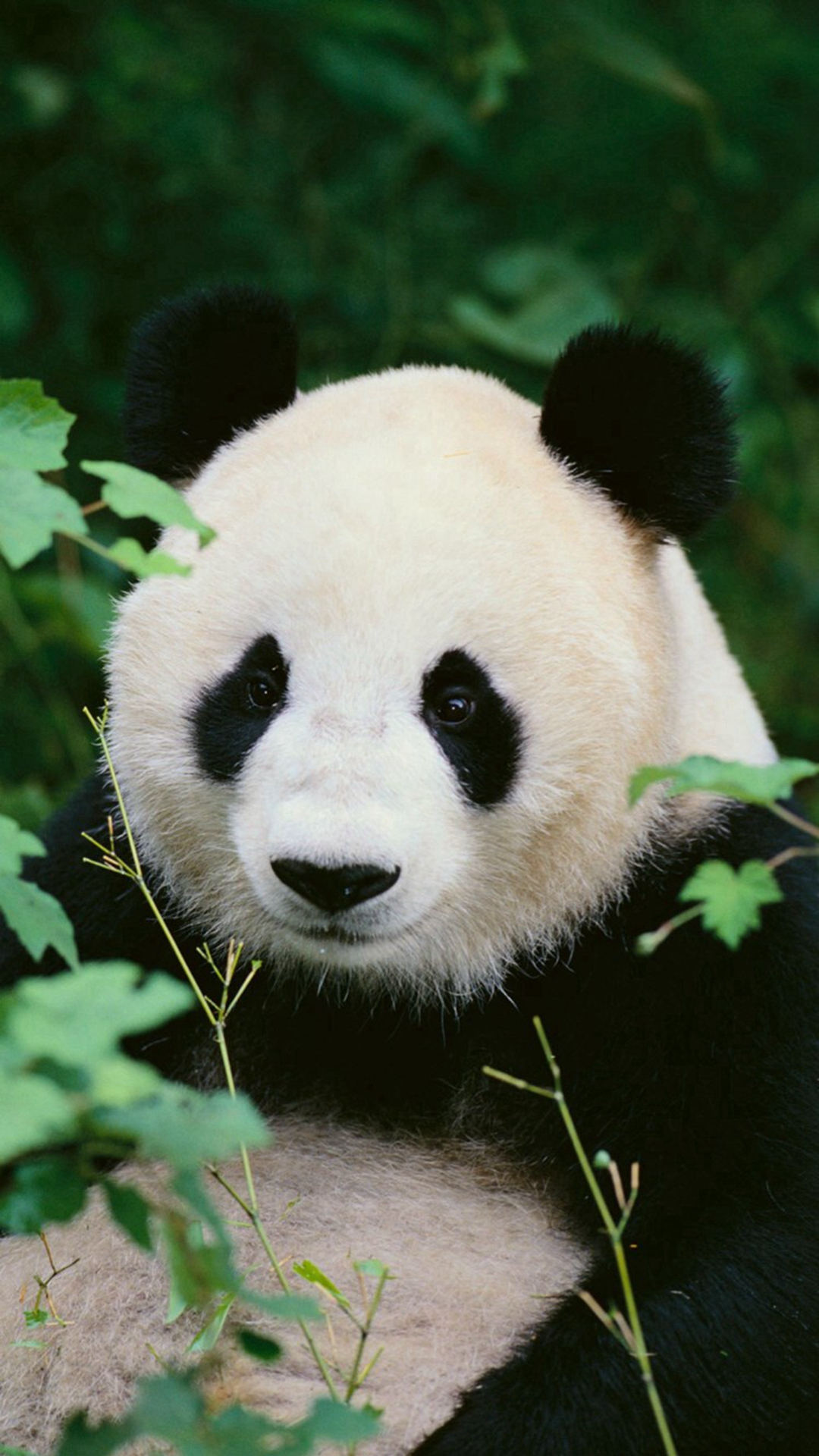 Download Panda Iphone Wallpaper Gallery