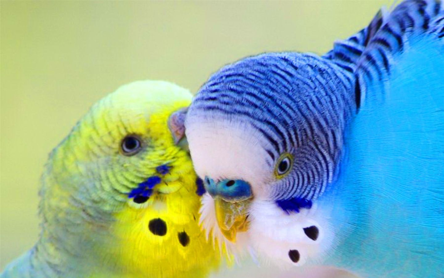 Parrots Wallpapers