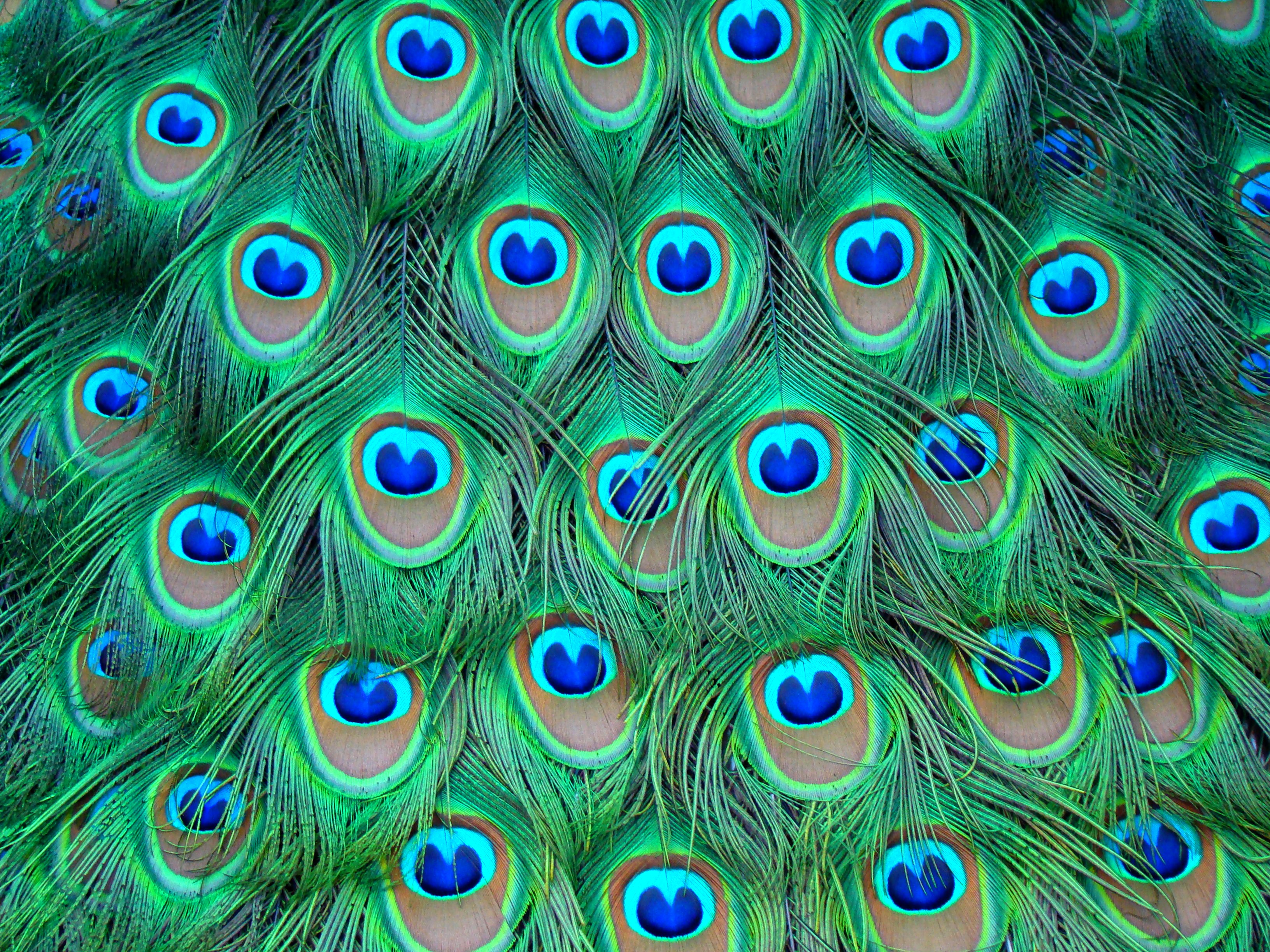 Peacock Feather Design Wallpaper