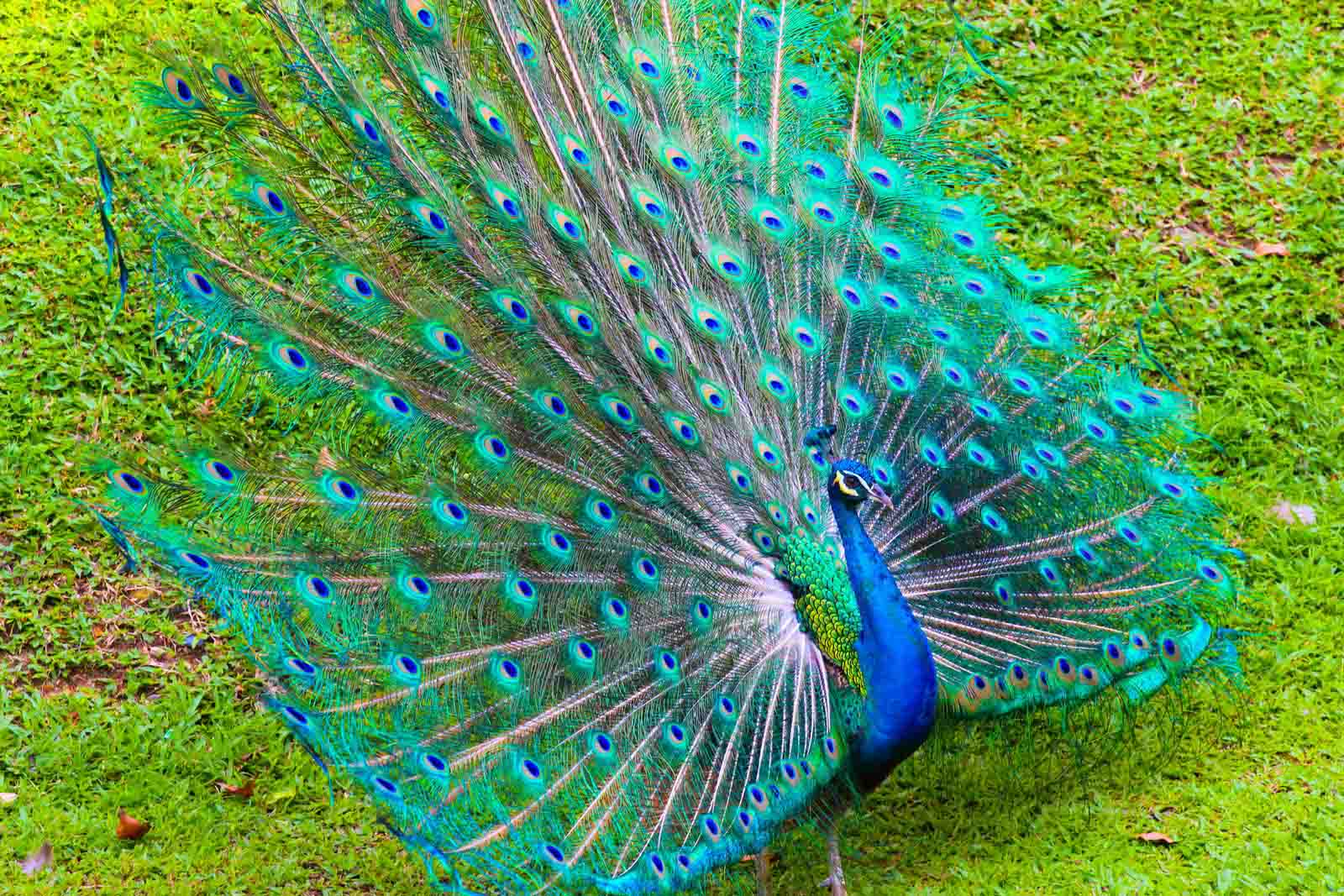 Peacock HD Wallpaper Download