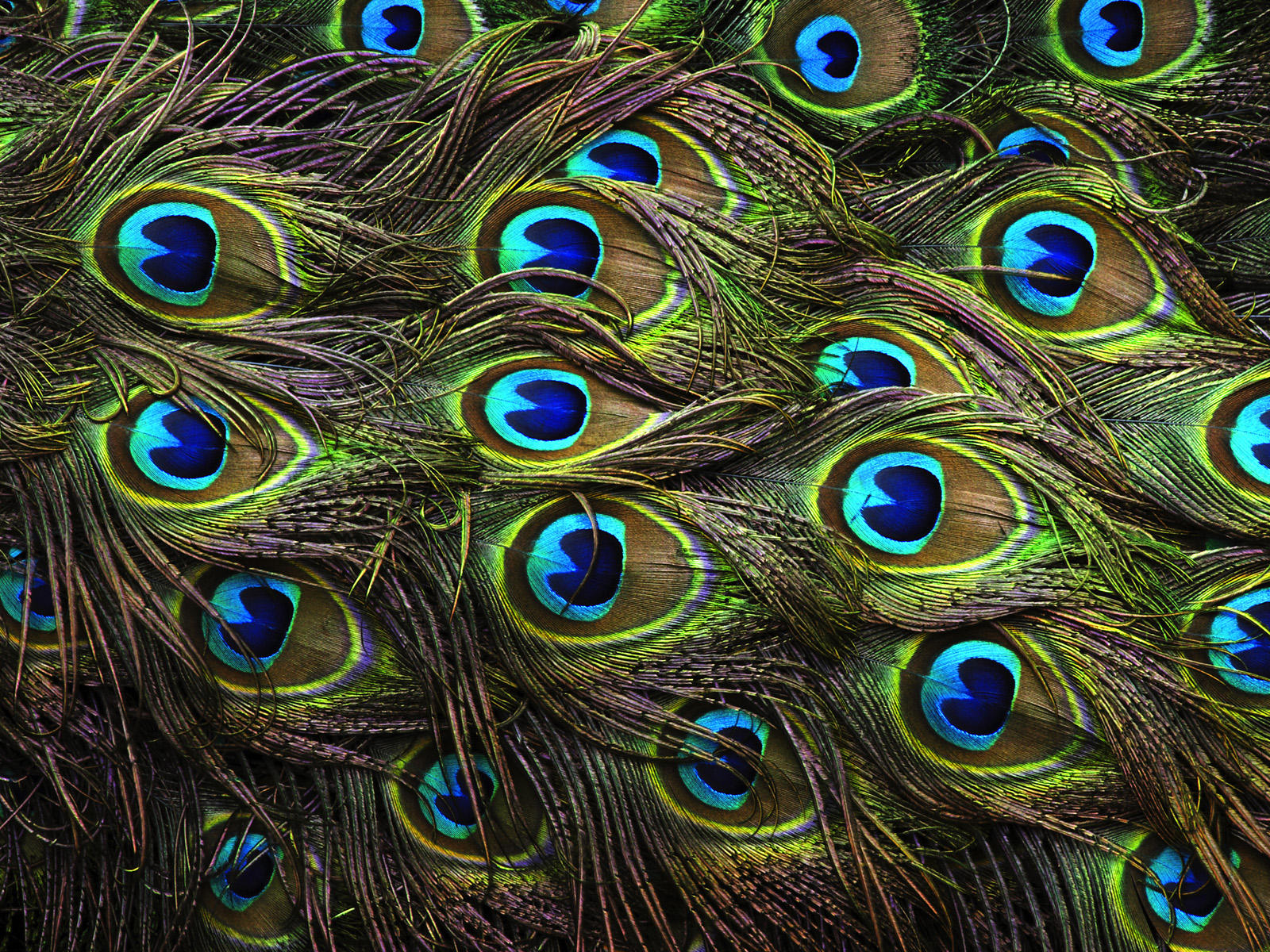 Peacock Wallpapers