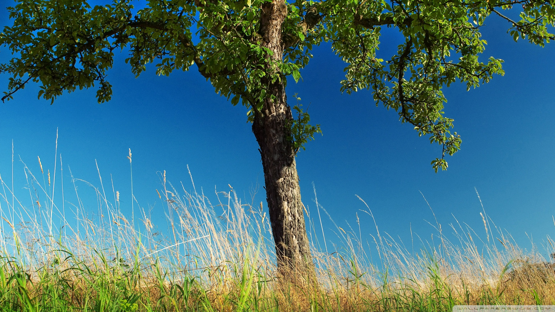Pear Tree Wallpaper