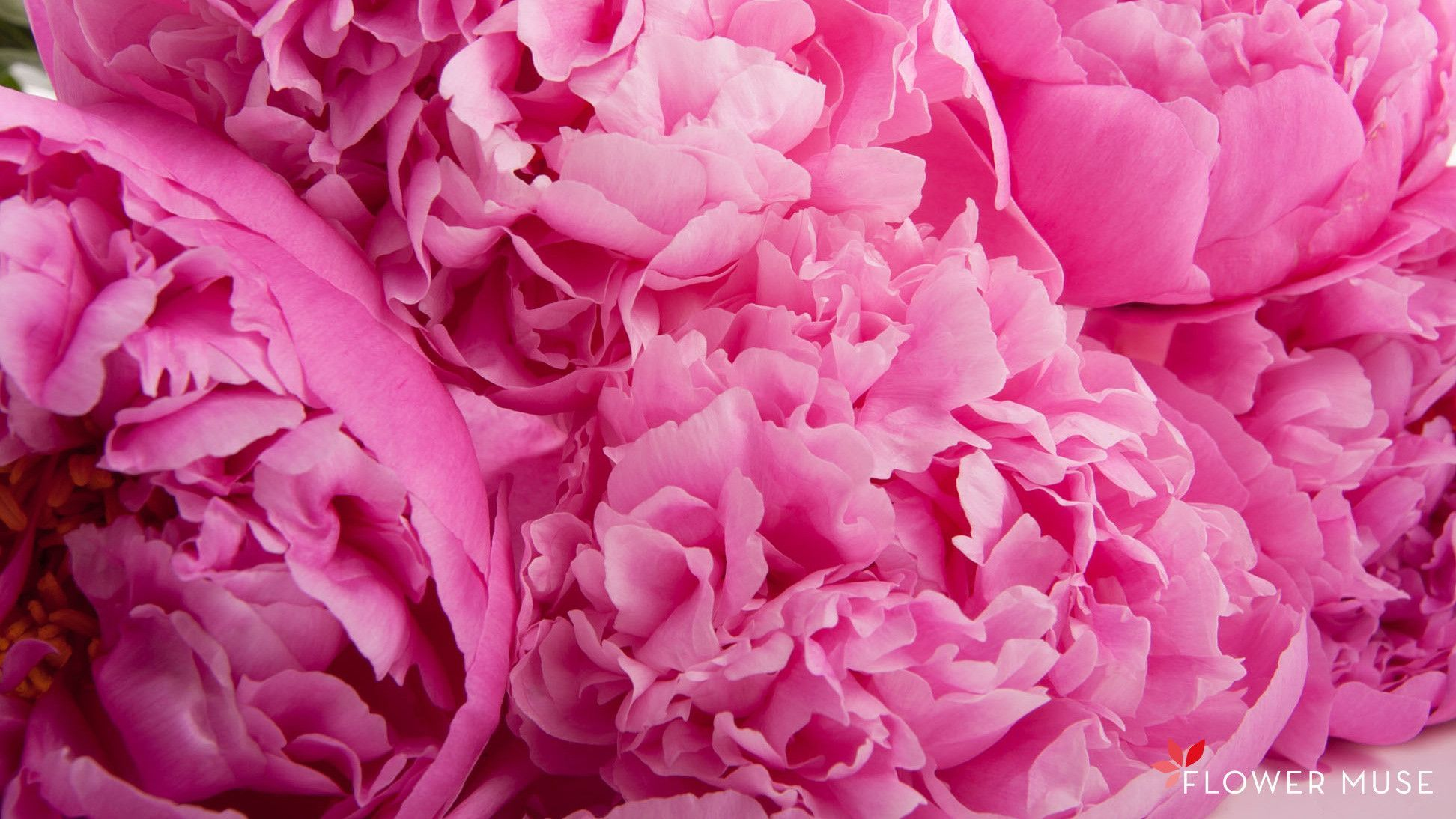 download peony wallpapers gallery