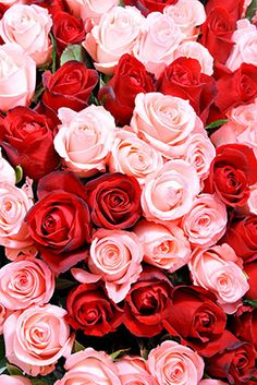 Pink And Red Rose Wallpaper
