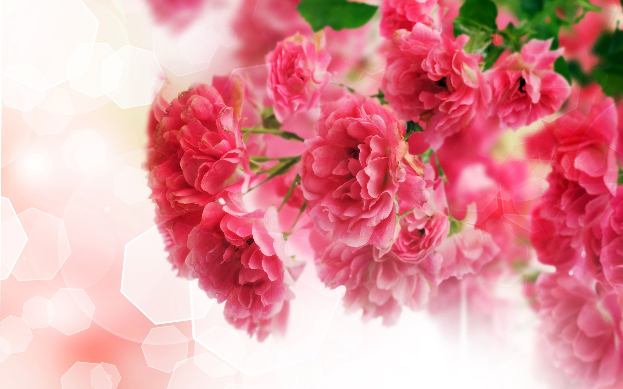 Pink Carnation Wallpaper