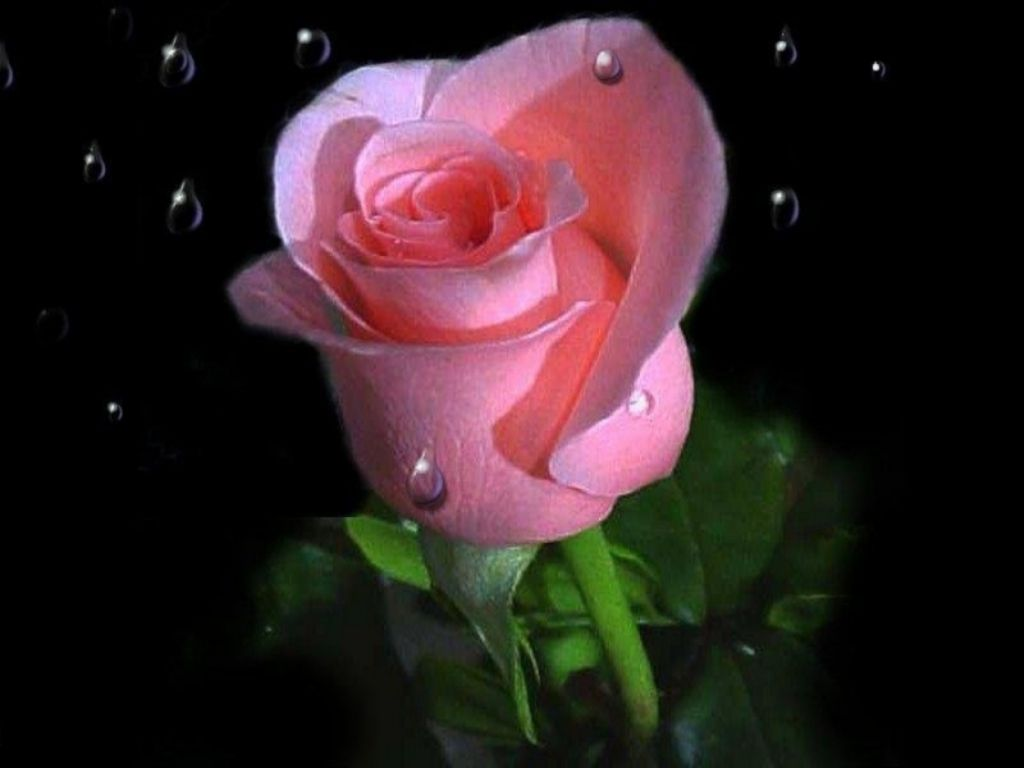 Pink Rose Wallpaper Download