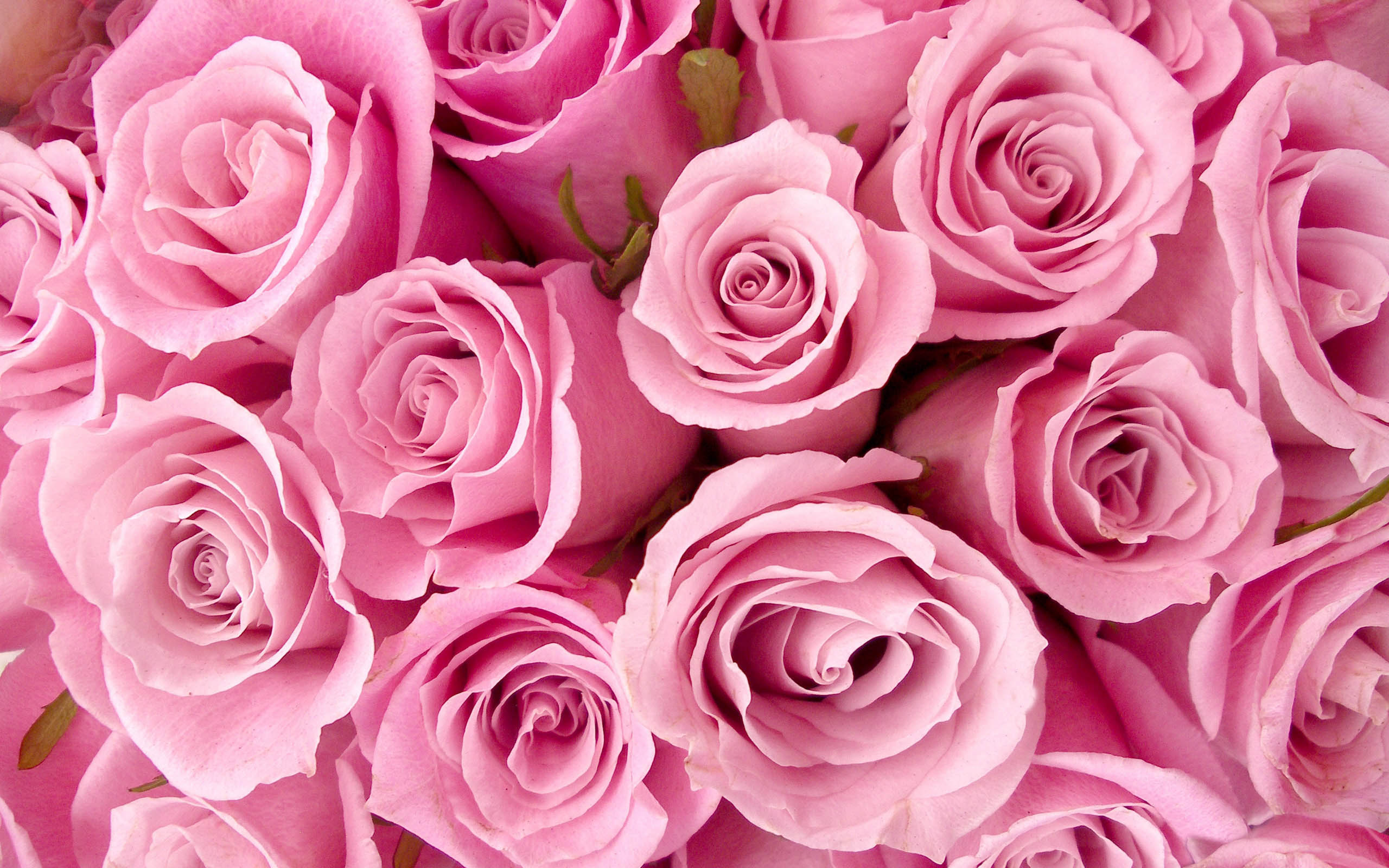 Pink Roses Images Wallpaper
