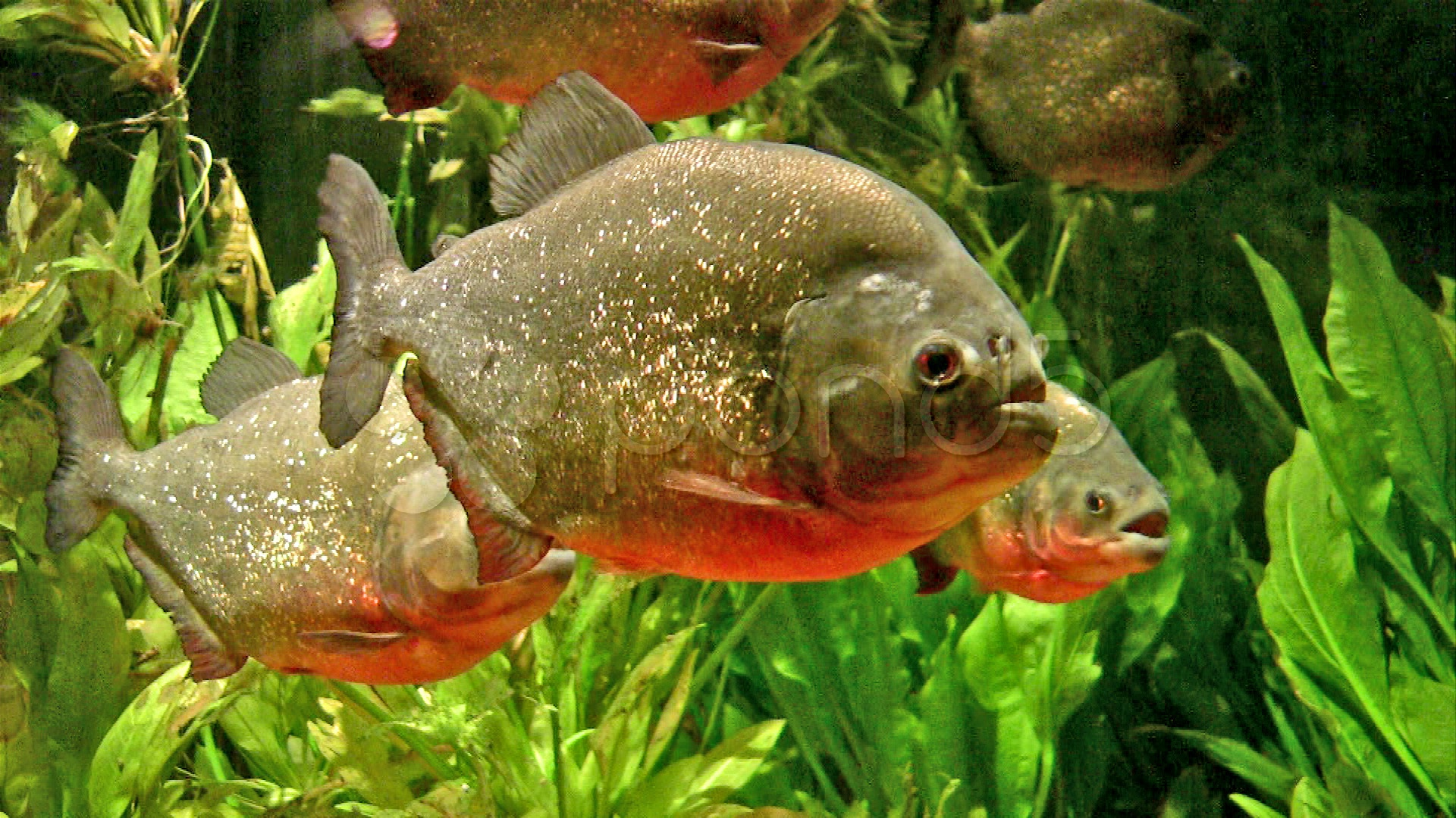 Piranha Fish Wallpaper