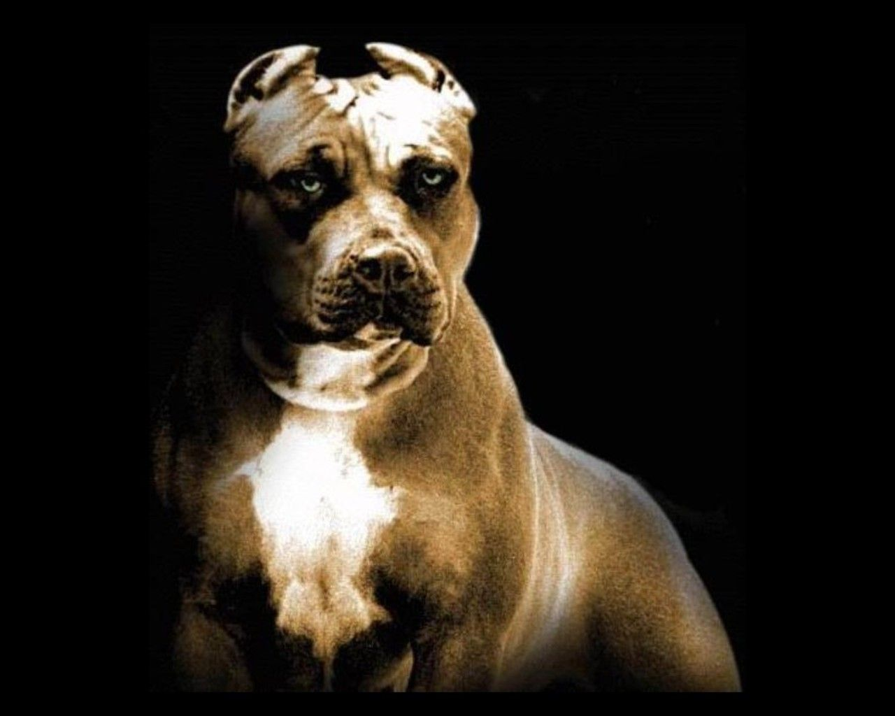 Pitbull Dog Wallpaper HD