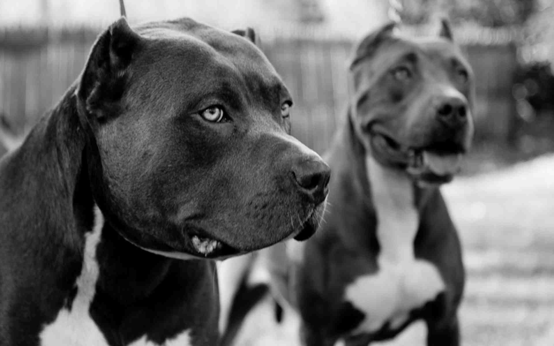 Pitbull Dogs Wallpapers