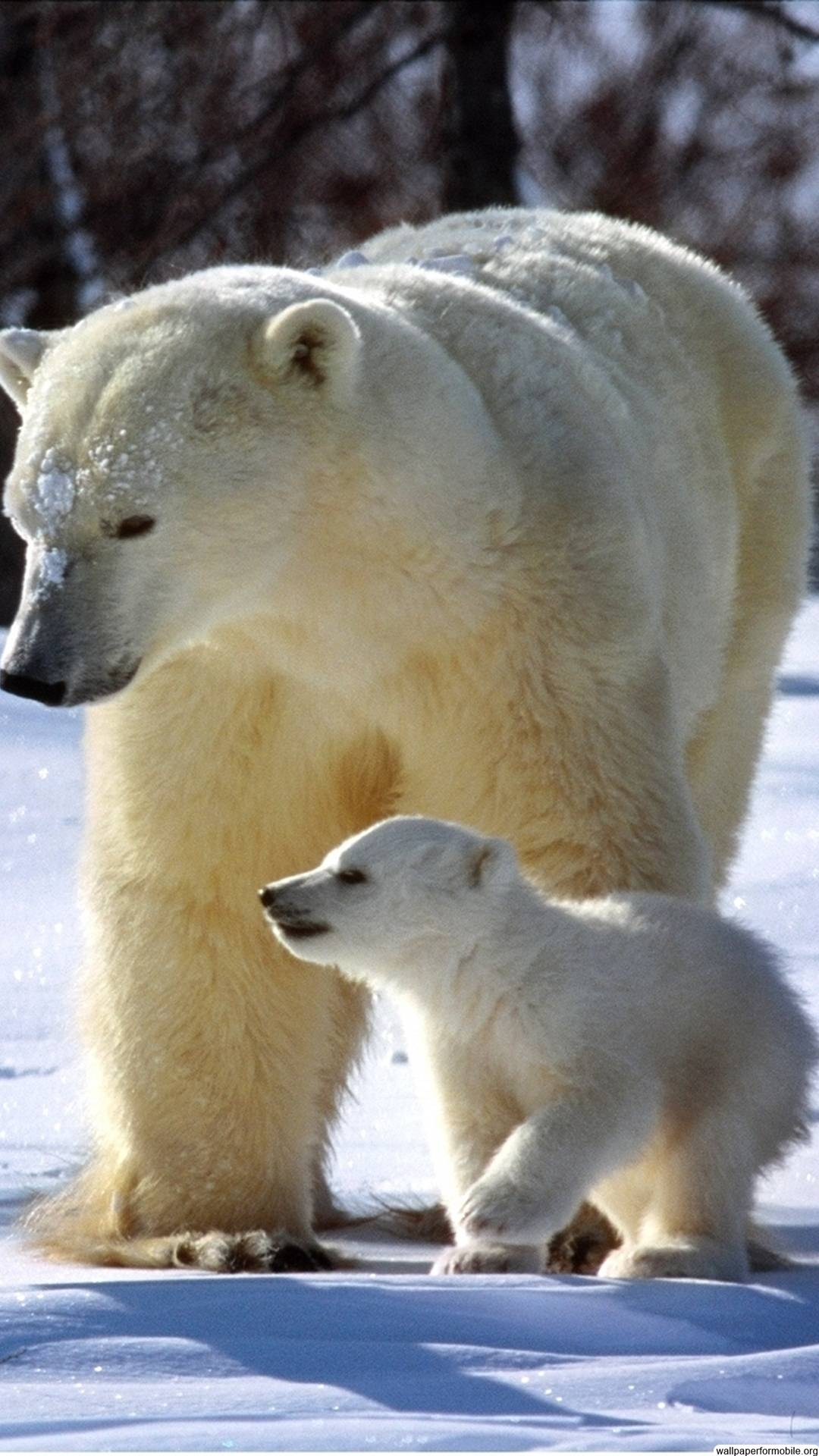 Download Download Free Gallery Polar Bear Wallpapers