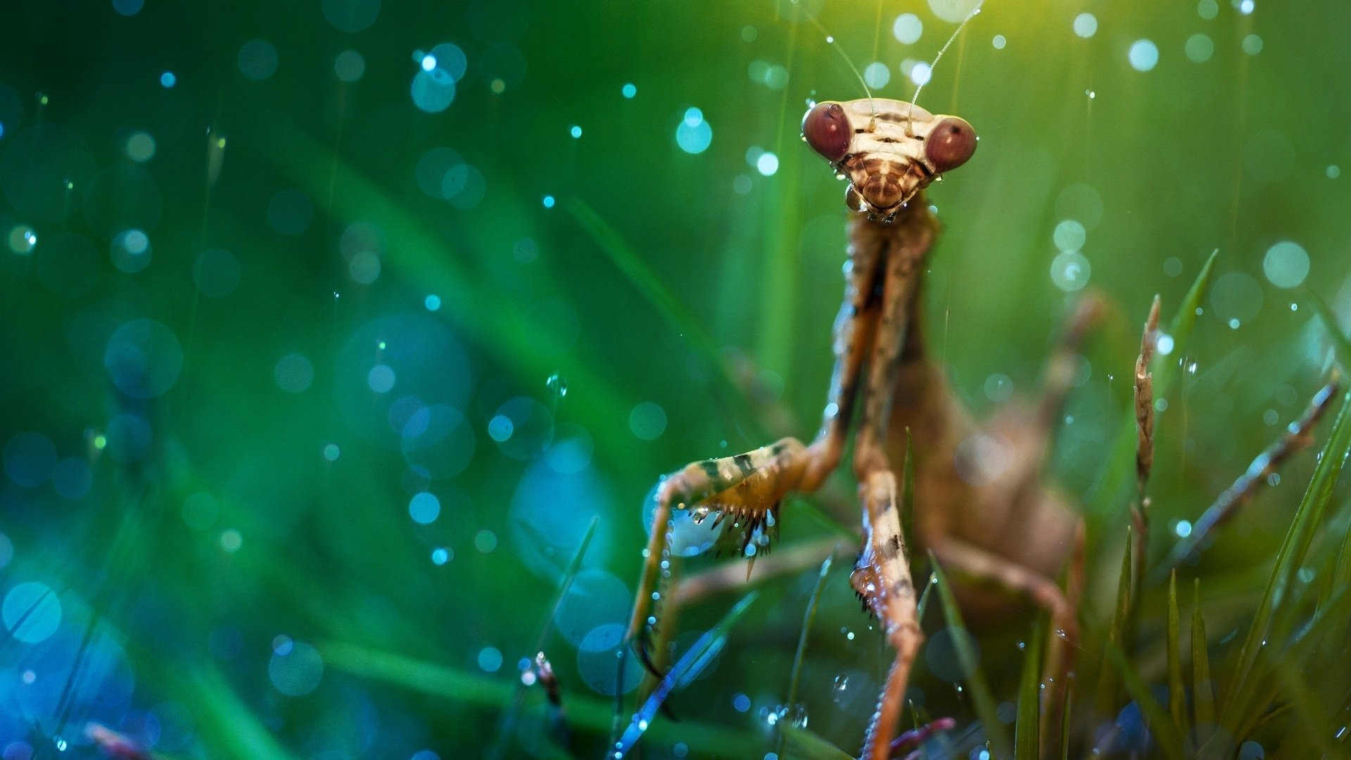 Praying Mantis Wallpaper