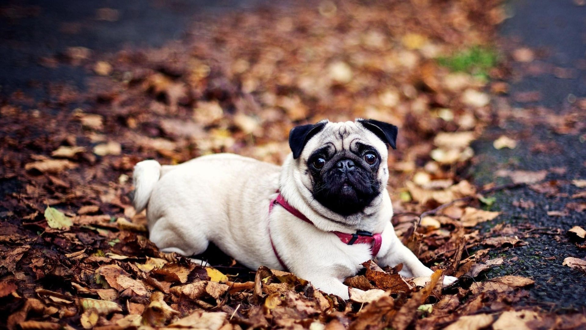 Pug Dog Wallpaper Free Download