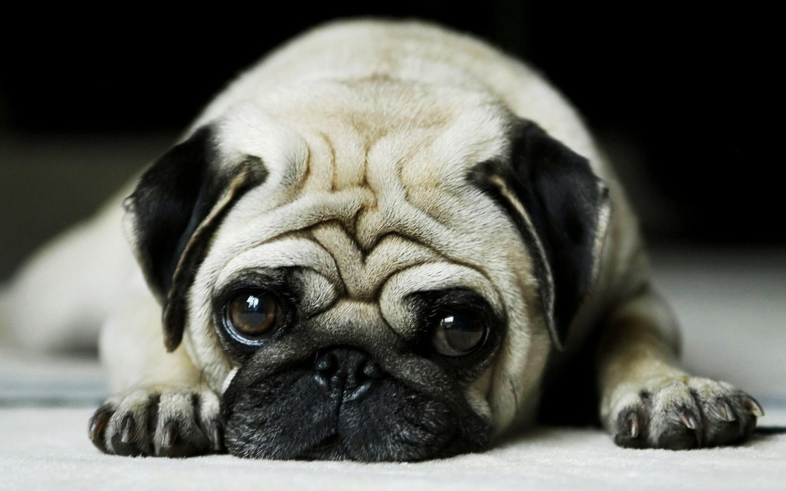 Pug Dog Wallpaper HD